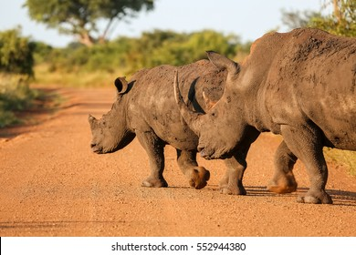 White rhinos roaming on the park road in golden late afternoon light, Kruger National Park, South Africa