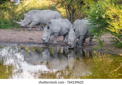White Rhinos taking a mud bath, Khama Rhino Sanctuary, Serowe, Botswana