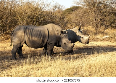 White Rhinos in their habitat in the Tshukudi Game, South Africa