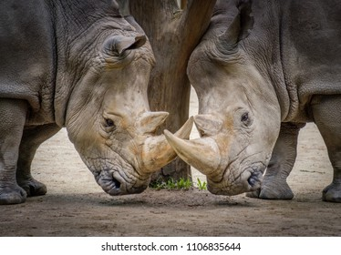 White rhinos at the zoo
