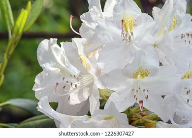 White Rhododendron after a rain shower