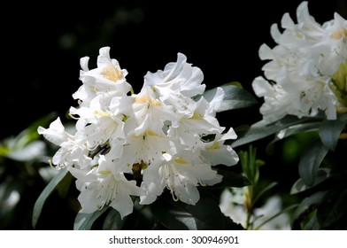 White rhododendron flower