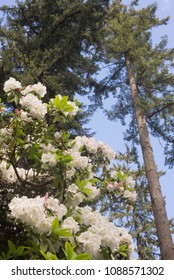 White rhododendrons against tall firs and blue sky.