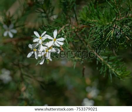 White ricinocarpus flowers showing spiky leafed stock photo edit white ricinocarpus flowers showing the spiky leafed shrub a native australian flowering plant mightylinksfo