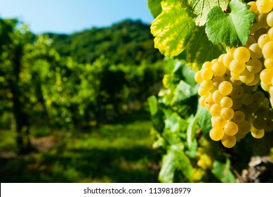 white riesling grapes vineyard before harvest