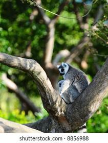 White Ring Tailed Lemur in Tree