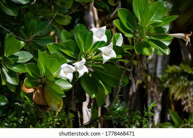 """White Rock Lilies (""""Rur"""" in Palauan) blooming, national flower of Palau, endemic in Rock Island Southern Lagoon, Palau, Pacific"""