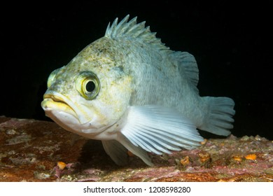 A white rockfish rests on a reef in the waters of California's Channel Islands.