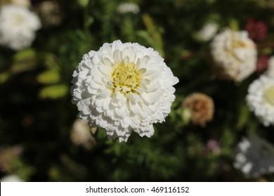 """White """"Roman Chamomile"""" flower (or English chamomile, Ground Apple, Low Chamomile, Whig Plant) in St. Gallen, Switzerland. Its Latin name is Chamaemelum Nobile 'Plena' (Syn Anthemis Nobilis)."""