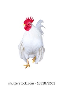 White rooster bantam walking isolated on  background , clipping path