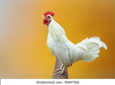 White rooster crows