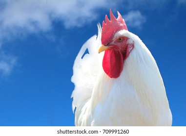 white rooster in front blue sky