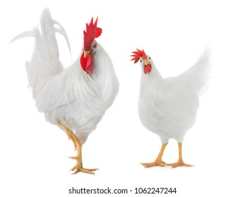 white rooster and hen isolated on white background