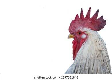 White Rooster. Portrait. Isolate on white background. Copy space.