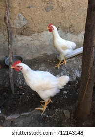 White roosters