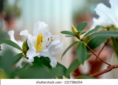 White Rosa sempervirens evergreen rose flower