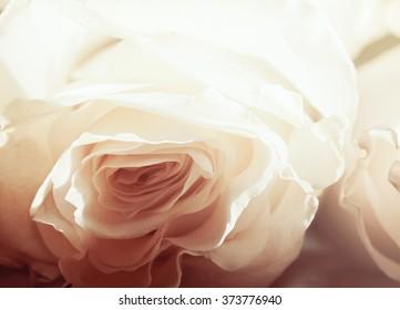 White rose background