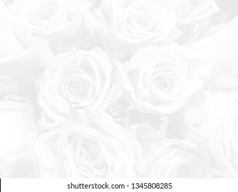 White rose background in blur style