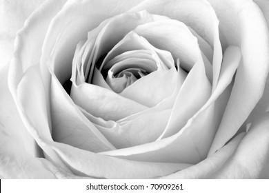 White rose, black and white macro