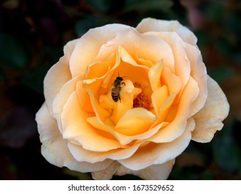 White rose in bloom with a bee attending to it