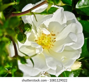 WHITE ROSE BLOOMS