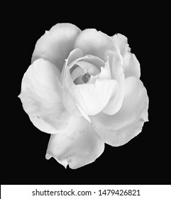 white rose blossom monochrome macro isolated on black background, a fine art still life bright close-up of a single bloom in vintage painting style