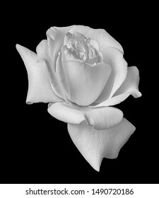 white rose blossom monochrome macro on black background, a fine art still life bright close-up of a single isolated bloom in vintage painting style