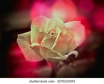 white rose blossom opened on soft bokeh in violet and pink. in close-up, romantic, fresh and yet bright