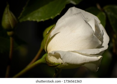 White rose and bud in natural surroundings with a dark background.