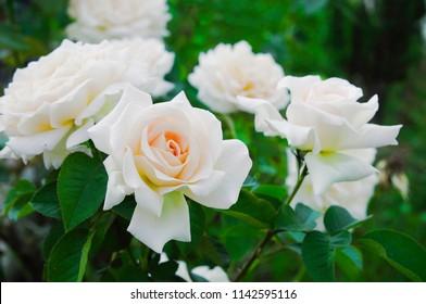 White rose bush bush