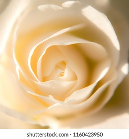 A white rose in close up