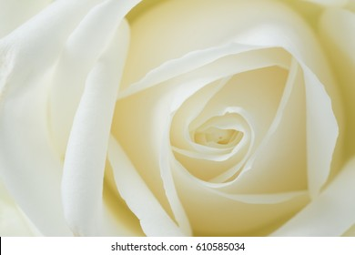 white rose, close up