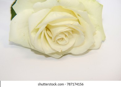 white rose close up on the white backgraund
