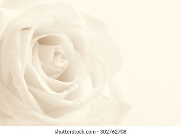 White rose close-up can use as background. Soft focus. In Sepia toned. Retro style