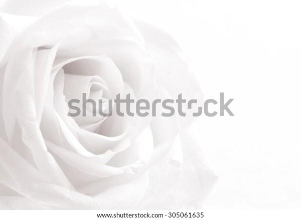 Белая роза крупным планом можно использовать в качестве фона. Мягкая фокусировка. В Сепии тонизирован. Ретро стиль