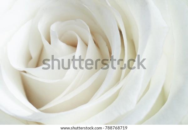 Белая роза крупным планом можно использовать в качестве фона. Мягкий и мечтательный