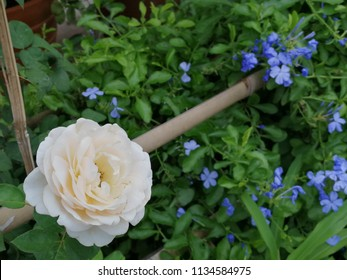 Tubular flowers images stock photos vectors shutterstock white rose close up royal cape plumbago or powdered blue tubular flowers or plumbago auriculata mightylinksfo