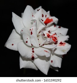 A white rose covered in droplets of fake blood in front of a black background.