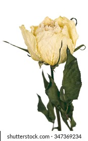 White Rose dried single, isolated die cut