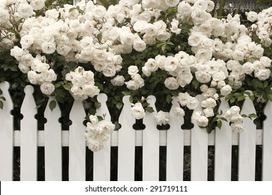 white rose/ rose/ white rose with white fence