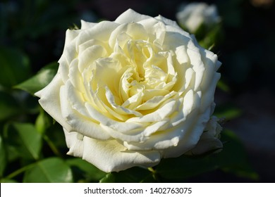 """white rose flower """"Alabaster"""" blooming in roses park. botanical garden in summer on a sunny day. from Germany"""