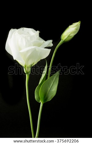 White rose flower black background stock photo edit now 375692206 white rose flower with black background mightylinksfo