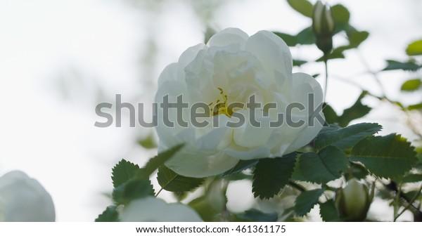 White rose flower in bloom on briar bush