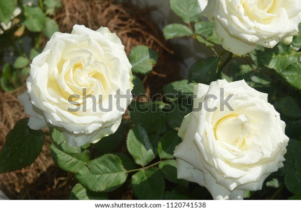 White Rose Flower Bunga Mawar Putih Stock Photo Edit Now 1120741538