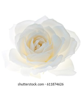 White rose flower closeup isolated on white background 2