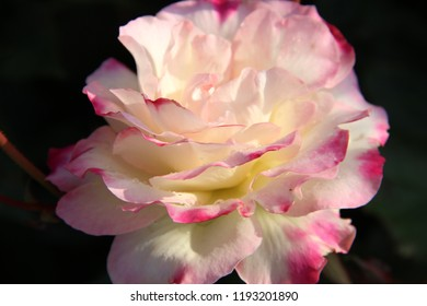 White flower pink edges images stock photos vectors shutterstock white rose flower with pink edges fully blossomed close up in august mightylinksfo