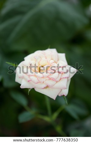 White rose flower pink edges on stock photo edit now 777638350 white rose flower with pink edges on petals blooming on window sill gorgeous ornamental indoor mightylinksfo