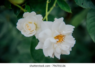 White rose in garden English style have a variety of species for valentine day