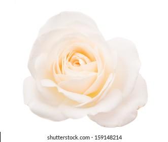 white rose isolated on white background