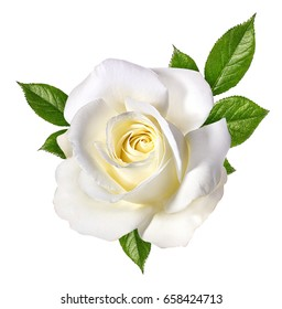 white rose isolated on white background